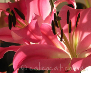 Photo of pink lillies close up