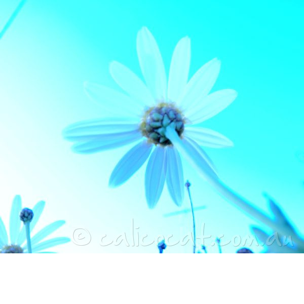 Photo of daisies in cyan