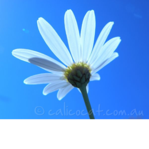Photograph of a white daisy against a blue sky