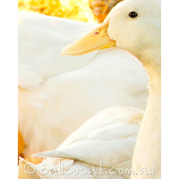 Photo of white ducks