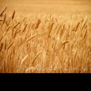 Photo of yellow wheat