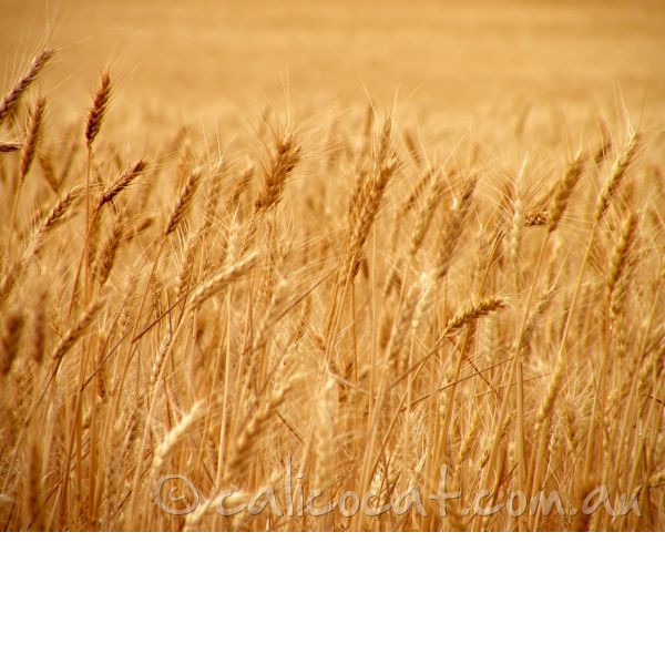 Photo of yellow wheat