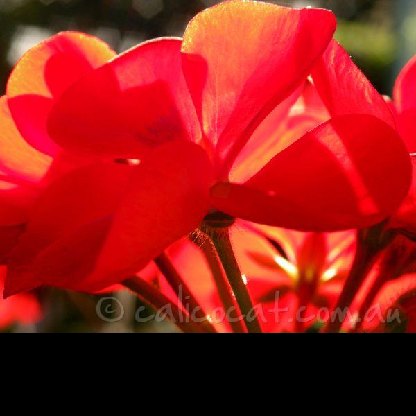 Photo of a red geranium