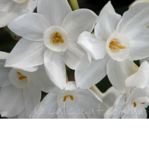Photo of white jonquils