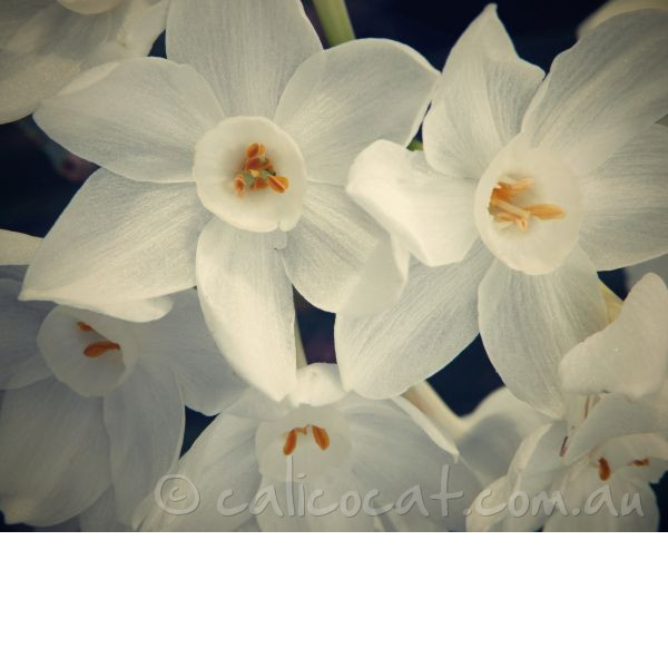 Photo of Jonquils with a retro tint