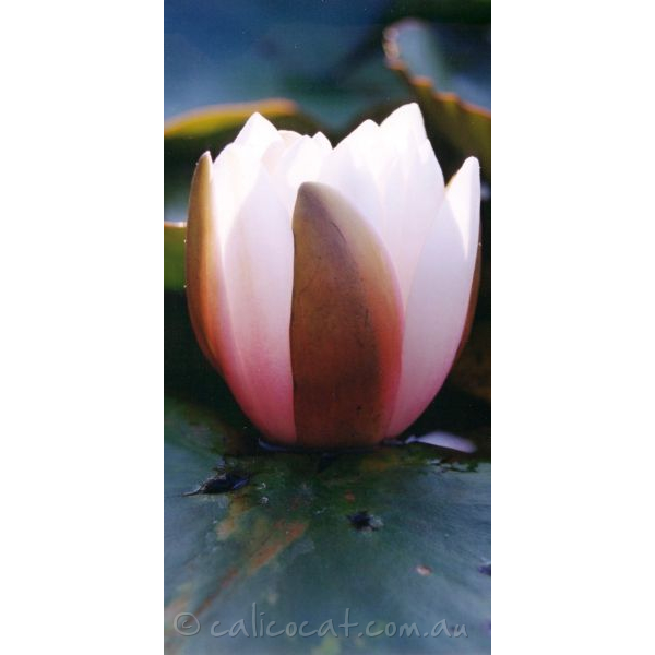 Photo of a water lilly